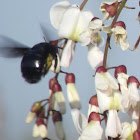 Abeja carpintera, carpenter bee