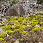 ? common green bryam moss