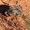 Desert Box Turtle