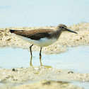 Green Sandpiper - Vodouš kropenatý