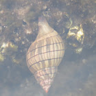 Banded tulip snail