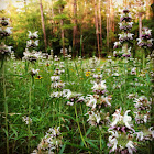 Purple Horsemint