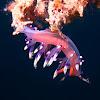 Nudibranch: Flabellina exoptata