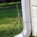 Yellow and Black Garden Spider