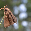 Big Brown Moth