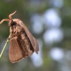 Big Brown Moth