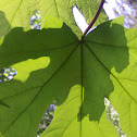 Bigleaf Maple