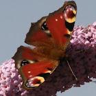 European peacok butterfly