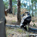 Wedge tailed Eagle?