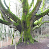 Garry Oak Tree