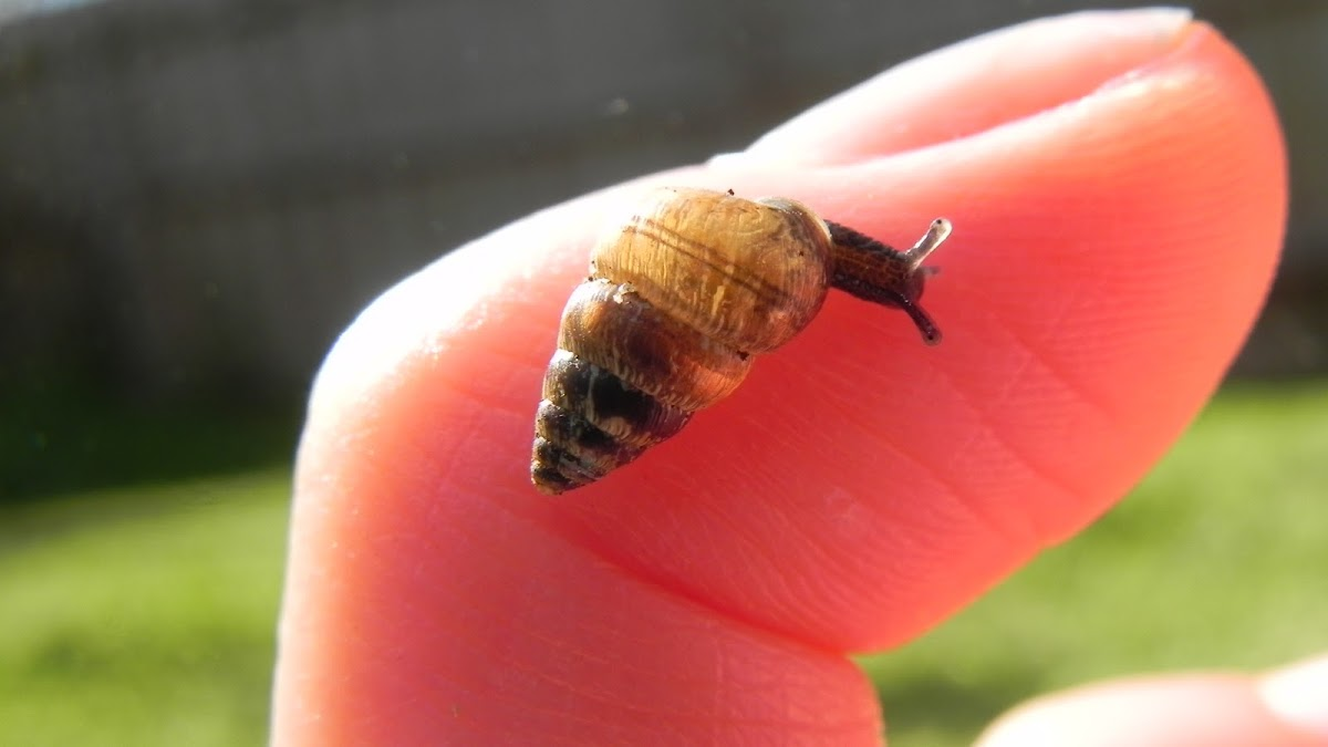 Small pointed Snail