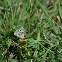 Becker's White Butterfly