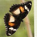 Common Eggfly (female)