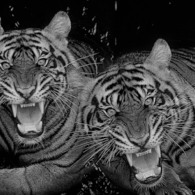 Ferocity in shades of black and white by Ubayoedin As Syam - Black & White Animals