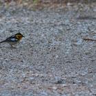 The Blackburnian Warbler