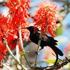Bronze Sunbird