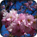 Sakura Wallpapers icon