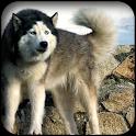 Husky Dog Wallpapers icon