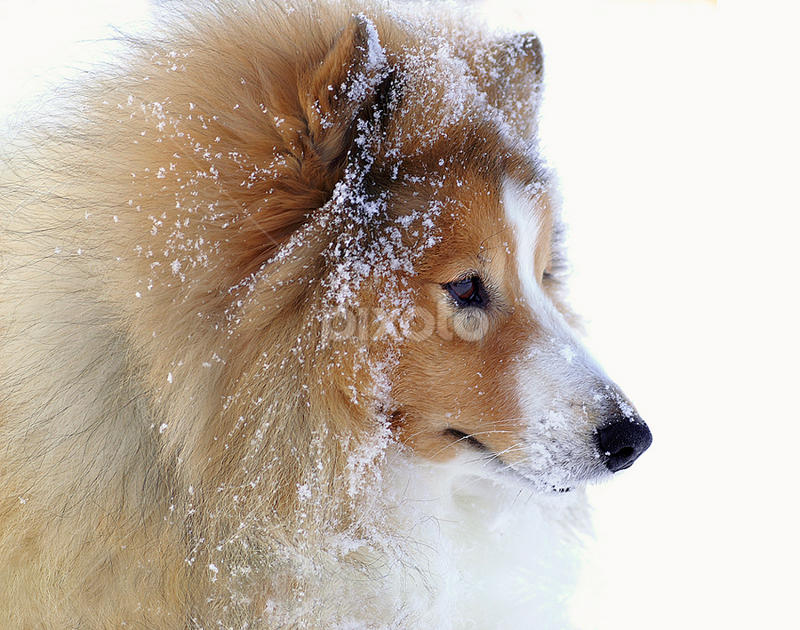 Shetland sheepdog by Allan Wallberg - Animals - Dogs Portraits ( natural light, breed, isolated on white, cute, cold, nature, shetland sheepdog, snow, mamal, animal, pedigree, animalia, adult, portrait, canine, vertebra, resting, winter, animal kingdom, stand, pet, zoology, rest, dog, companion dog, standing, sheltie, natural, animal snow,  )