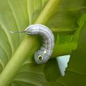 Silver-striped Hawk-Moth Caterpillar