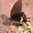 Indian Common Mormon (Male)