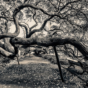 by Bianca Mauro - City,  Street & Park  City Parks ( bench, park, black and white, auckland, nz, leaves, digital, city, contrast, tree, mb, bark, path, branches )