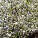 Flowers of a crabapple tree