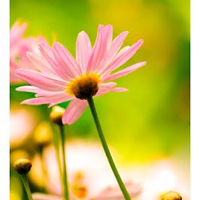 magic whispers by Madhu Payyan Vellatinkara - Flowers Flower Gardens ( pink, flowers, nikon, evening )