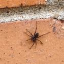 American Grass Spider