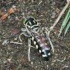 Avispa de Arena (Sand Wasp)