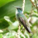 Beija-flor-de-banda-branca (Versicolored Emerald)