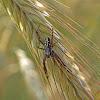 Oak spider - Křižák skvostný