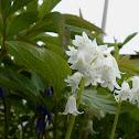 Bluebell (white v)