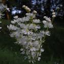 Dropwort/Fern-leaf Dropwort