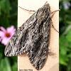 Hermit Sphinx Moth