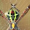 Male and female signature spider