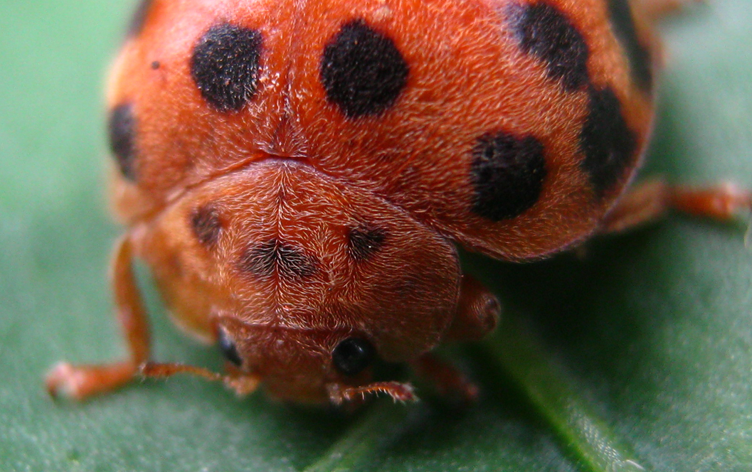 28-spotted Lady Beetle