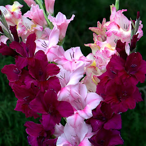 Gladiolus by William Stewart - Flowers Flower Buds ( vase, red, nature, plants, pink, flowers, gladiolus, blossom, blossoms )