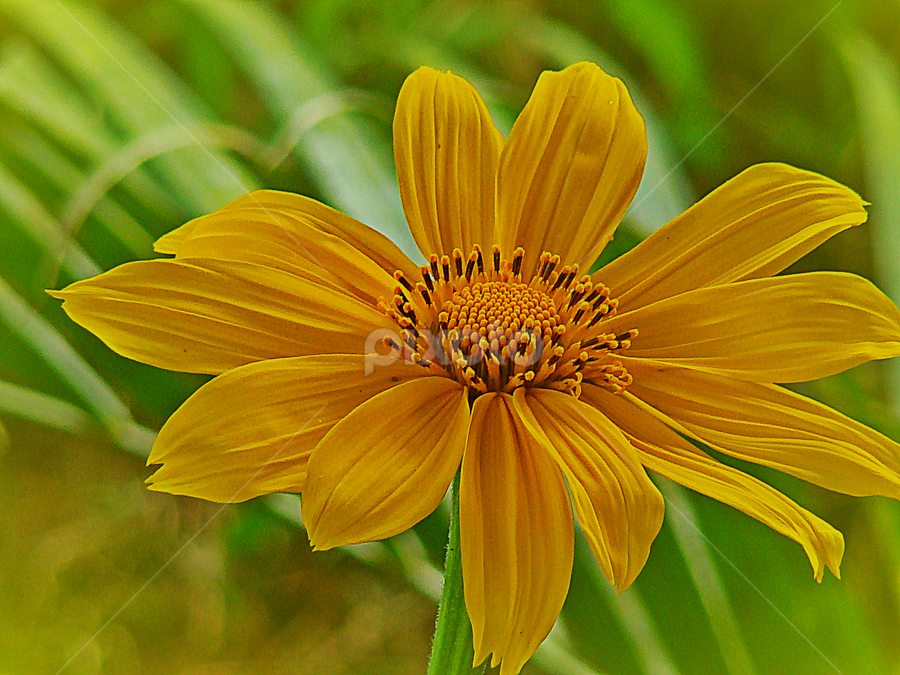 Mellow Yellow by Carmen Quesada - Flowers Flowers in the Wild ( wild, sunflower, yellow, natural, flower,  )