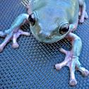 Australian White Tree Frog (White's Tree Frog)
