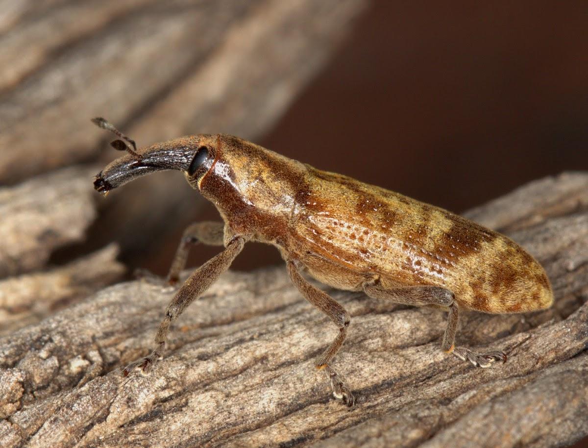Elegant weevil