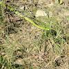 Green Grass Snake