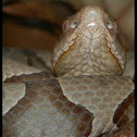 Southern Copperhead