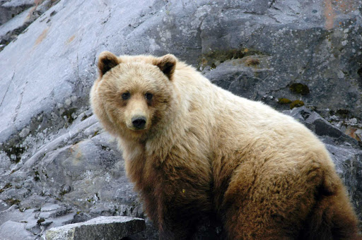 Glacier-Bay-brown-bear - A brown bear in Glacier Bay National Park, Alaska.