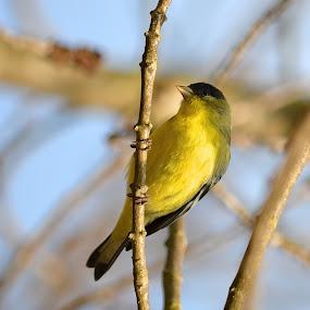 Finch by Ed Hanson - Animals Birds ( bird, nature, finch, yellow, black )