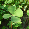 Water Clover/Four Leaf Clover