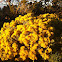 Arizona rabbitbrush