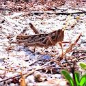 Pathanga locust