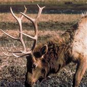 HD Elk Calls