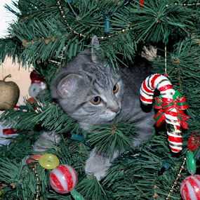 Evil in the Christmas Tree by Lisa Wessels - Animals - Cats Kittens ( mischief, kitten, cat, tree, ornament, christmas, funny, grey, cute, evil )
